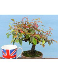 Quince Flowering Shohin Bonsai Tree