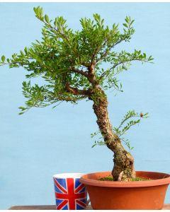 Dwarf Cork Bark Elm Bonsai Tree Material - RM2758