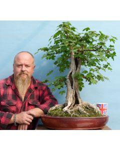 Field Maple British Native Yamadori Bonsai Tree