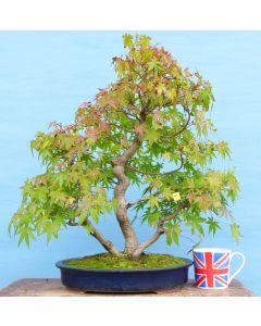 Large Japanese Maple Multi-Trunk Bonsai Tree