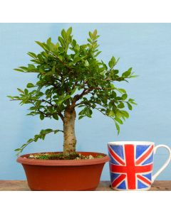 Broom Style Chinese Elm Bonsai Material