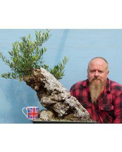 Large Yamadori Wild Olive Bonsai Tree Material