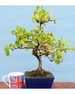 Mahaleb Cherry Flowering Bonsai Tree