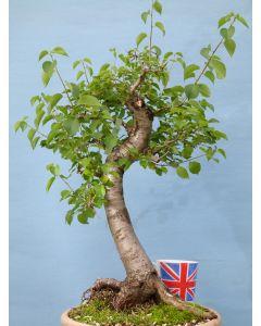 St Lucie Cherry Yamadori Bonsai Material - Prunus Mahaleb