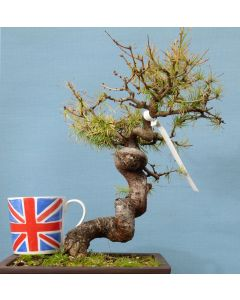 European Larch Bonsai Tree-TS4415