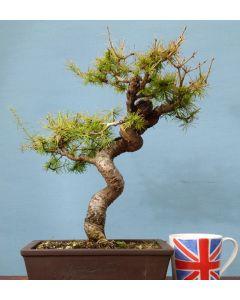 European Larch Bonsai Tree
