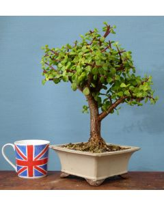 Portulacaria Afra - Elephant Bush Indoor Bonsai Tree
