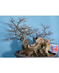 English Hornbeam British Native Bonsai Tree Material Yamadori