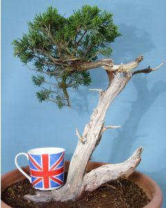 Sabina Juniper Evergreen Yamadori Bonsai Material
