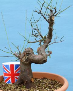 Cherry Plum Bonsai Tree Material - Prunus Cerasifera