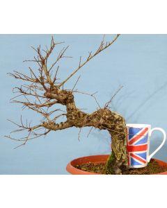 Dwarf Cork Bark Elm Bonsai Tree Material