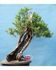 Large Yamadori Wild Olive Bonsai Tree