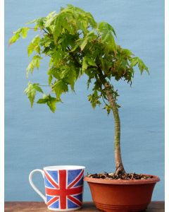 Japanese Maple Bonsai Starter Tree