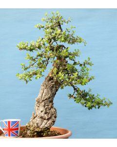 Cork Bark Oak Yamadori Evergreen Bonsai Tree