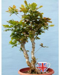 English Oak Bonsai Tree Material - Starter Tree