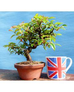 Chinese Quince Flowering Shohin Bonsai Tree