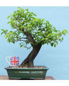 Yamadori Cherry Plum Bonsai Tree Material - Prunus Cerasifera