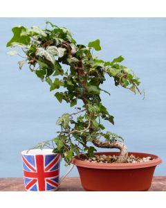 Common Ivy Bonsai Material