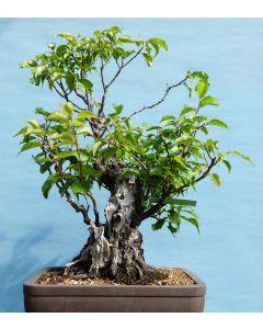 Yamadori Prunus Mume - Japanese Apricot (Plum Blossom) Bonsai Tree