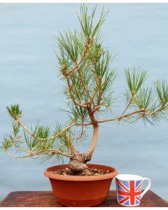 Japanese Black Pine Bonsai Starter Tree - Bonsai Material - Clearance