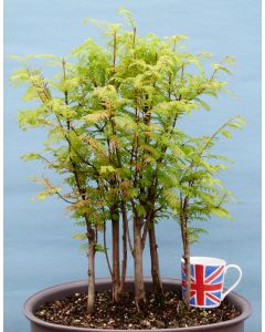 Dawn Redwood Bonsai Tree
