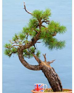 Scots Pine Yamadori Bonsai Tree