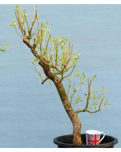 Copper Beech Bonsai Starter Trees x11 - Bonsai Material - Clearance
