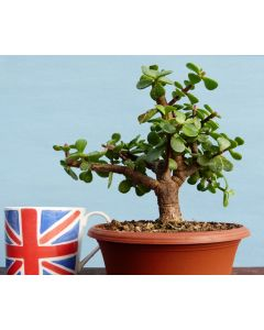 Portulacaria Bonsai Starter Tree Bonsai Material - Clearance