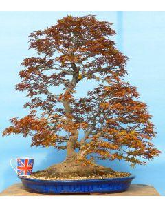 EXCEPTIONAL Japanese Maple Old Specimen Bonsai Tree