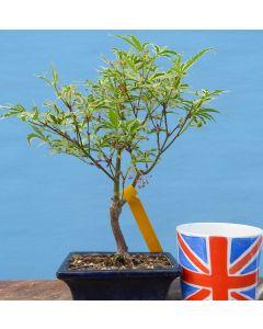 Variegated Japanese Maple Bonsai Starter Tree