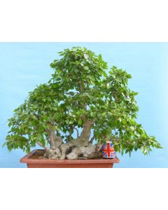 EXCEPTIONAL Korean Hornbeam Specimen Bonsai Tree
