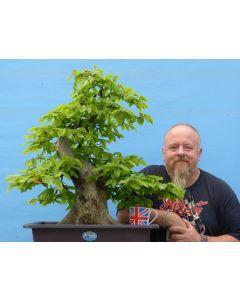 English Hornbeam Yamadori Bonsai Tree