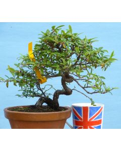 Cotoneaster Evergreen Flowering Bonsai Tree