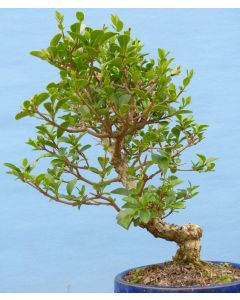 Privet Flowering Bonsai Tree