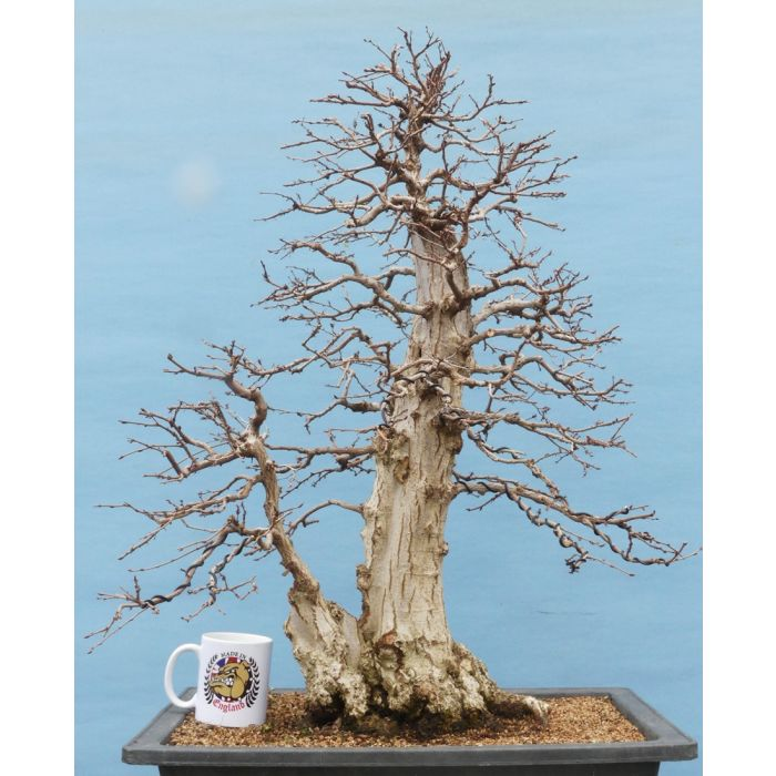 Exceptional Korean Hornbeam Bonsai Tree