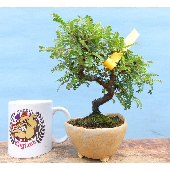 Osteomeles Hawaiian Hawthorn Flowering Shohin Bonsai Tree