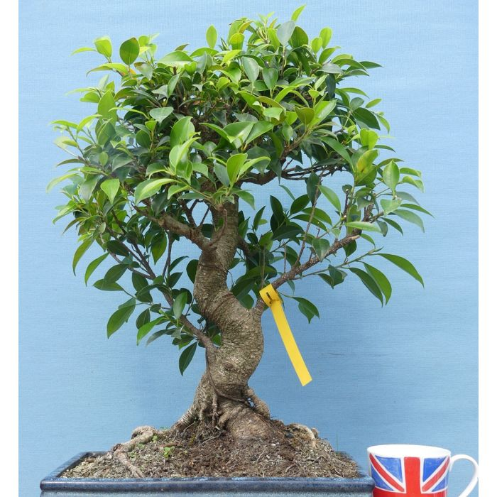 Ficus Retusa Quality Large Indoor Bonsai Tree