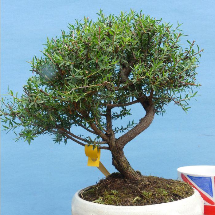 Leptospermum Tea Tree Shohin Bonsai