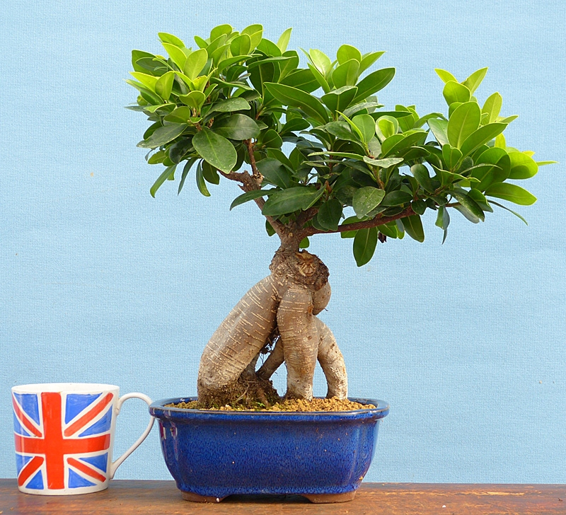 ginseng ficus bonsai tree indoor bonsai tree for sale. Black Bedroom Furniture Sets. Home Design Ideas