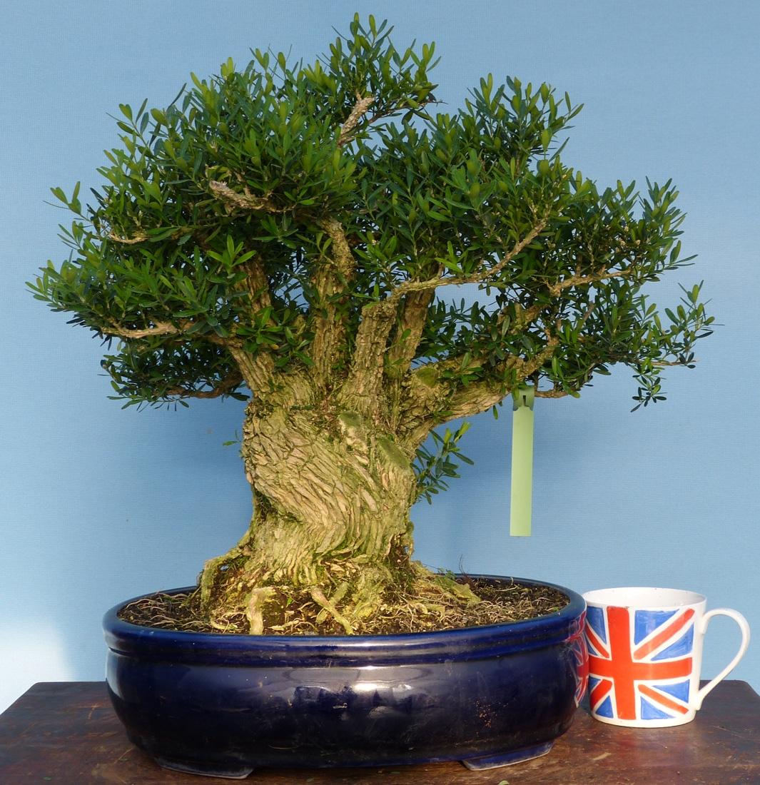 Buxus harlandii yamadori bonsai tree