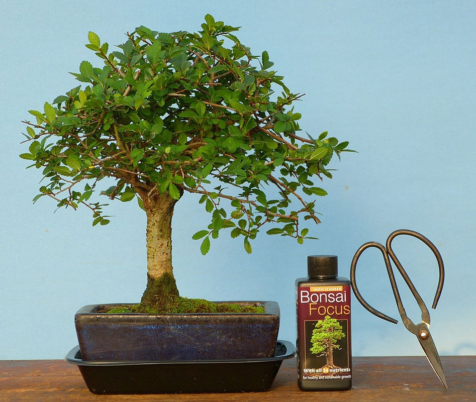 Indoor bonsai tree gift pack shohin sized mature chinese for Bonsai indoor
