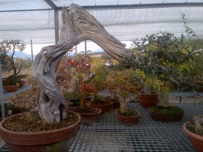 Olive Tree Bonsai 2013