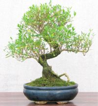 Tree of a Thousand Stars corporate bonsai
