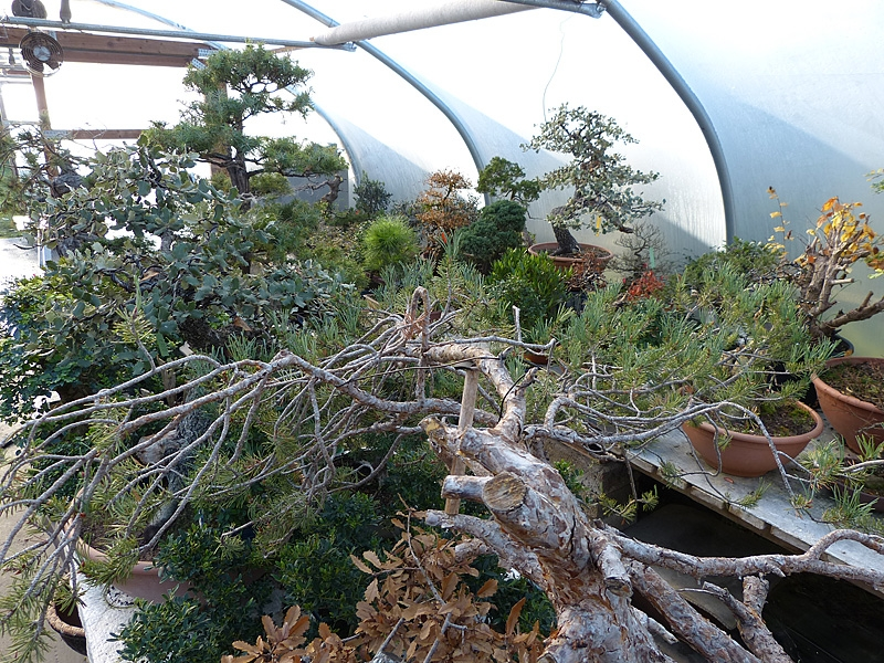 Winter storage of Bonsai Trees