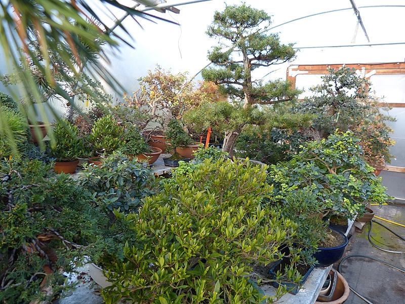 Bonsai trees in winter storage