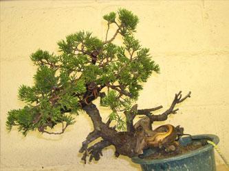 small juniper demonstration