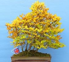 autumn bonsai colour