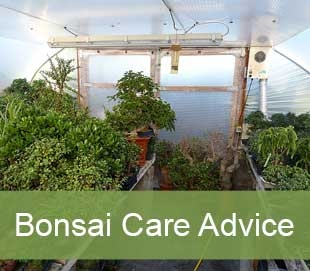 bonsai care advice
