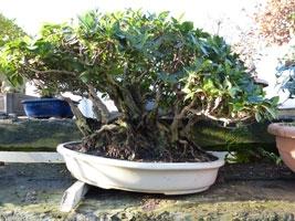 overwintering bonsai