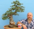 Evergreen barbary oak yamadori bonsai tree